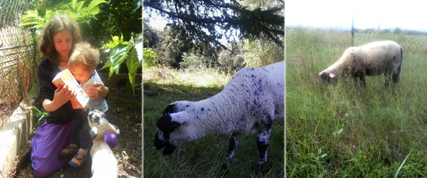 ovejas en Can Pou
